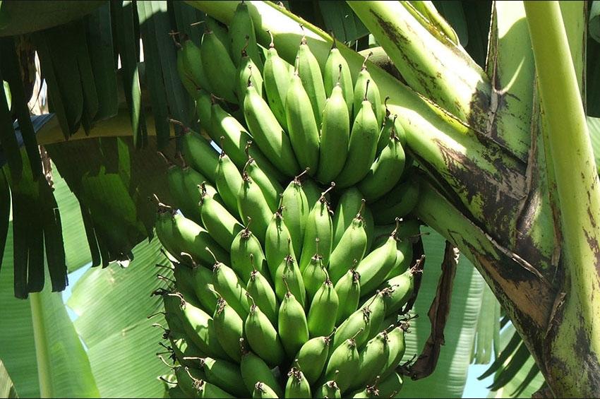 Bring my banana
