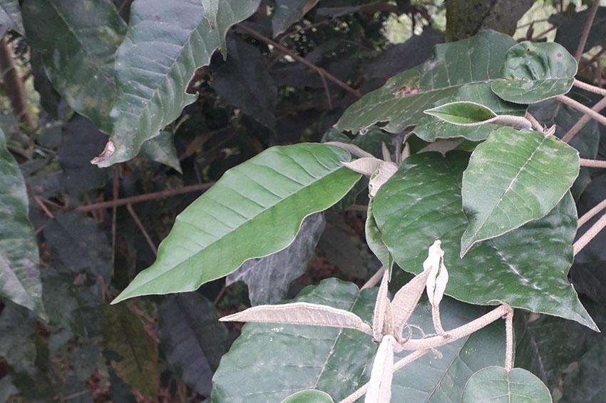 Celebrating the Ebony Leaves of Claudine